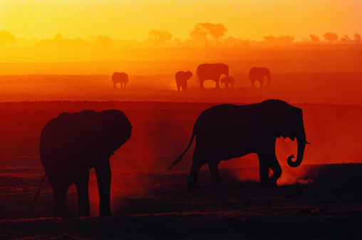 African Elephants at Sunset (Loxodonta africana), Chobe National Park, Botswana, Africa